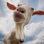Κατσικίσιο γάλα: Το γάλα που ανέθρεψε το Δία!